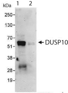 Immunoprecipitation - DUSP10 antibody (ab87842)