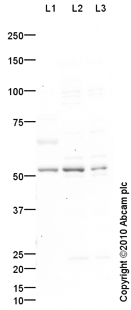 Western blot - Glucose Transporter 5 GLUT5 antibody (ab87847)