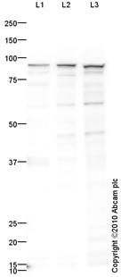 Western blot - Ku80 antibody (ab87860)