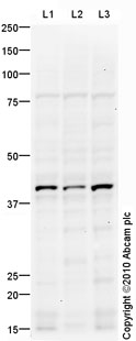 Western blot - Rad51L1 antibody (ab87874)