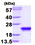 SDS-PAGE - PBP protein (Human) (ab87892)