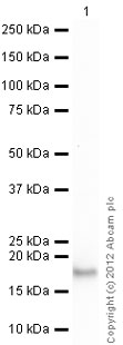 Western blot - Anti-Interferon alpha 2b antibody [24B10] (ab87900)