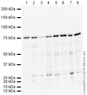 Western blot - Coilin antibody (ab87913)