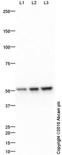 Western blot - Non Neuronal Enolase antibody (ab87925)