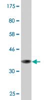 Western blot - GSTA2 antibody (ab87967)