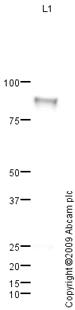 Western blot - C1s antibody (ab87986)