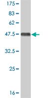 Western blot - JNK2 antibody (ab88076)