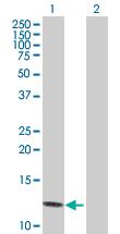Western blot - NAP2 antibody (ab88084)