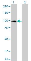Western blot - Elongin A antibody (ab88087)