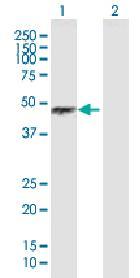 Western blot - Bag5 antibody (ab88100)