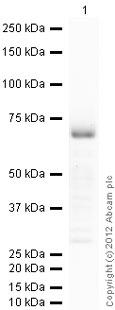 Western blot - Anti-CDX2 antibody (ab88129)