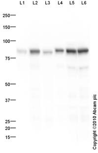 Western blot - Transferrin antibody (ab88165)