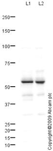 Western blot - Anti-PTRF antibody (ab88213)