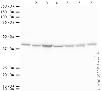 Western blot - Anti-alpha sarcomeric Actin antibody (ab88226)