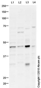 Western blot - Anti-Cyclin E1 antibody (ab88259)