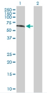 Western blot - Gonadotropin Inducible Transcription Repressor 1 antibody (ab88291)