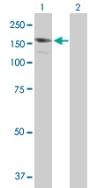 Western blot - Anti-BAT3 antibody (ab88292)