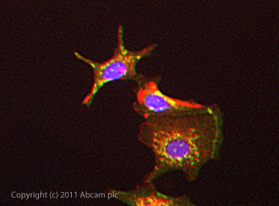 Immunocytochemistry/ Immunofluorescence - Anti-DKK1 antibody (ab88334)