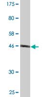 Western blot - FAM3C antibody (ab88337)