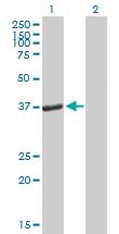 Western blot - PEX19 antibody (ab88365)