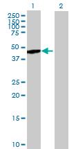 Western blot - Nck beta antibody (ab88367)