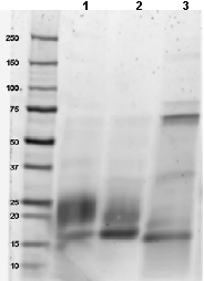 SDS-PAGE - GM-CSF protein (Active) (ab88382)