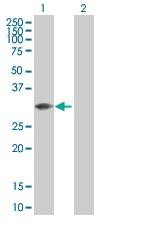 Western blot - MLF2 antibody (ab88442)