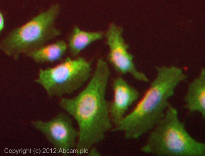 Immunocytochemistry/ Immunofluorescence-Anti-SIK3 antibody(ab88495)