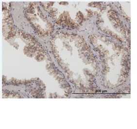 Immunohistochemistry (Formalin/PFA-fixed paraffin-embedded sections) - Arg2 antibody (ab88504)