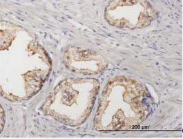 Immunohistochemistry (Formalin/PFA-fixed paraffin-embedded sections) - Sorbitol Dehydrogenase antibody (ab88509)