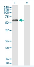 Western blot - Monoamine Oxidase B antibody (ab88510)