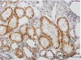 Immunohistochemistry (Formalin/PFA-fixed paraffin-embedded sections) - Monoamine Oxidase B antibody (ab88510)