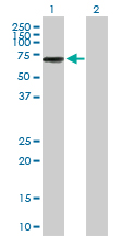 Western blot - Anti-IKZF3 antibody (ab88513)
