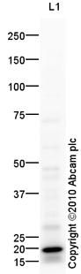 Western blot - CD79a antibody (ab88525)