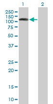 Western blot - DNMBP antibody (ab88534)