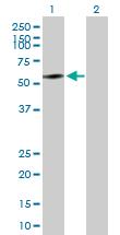 Western blot - NAP1L1 antibody (ab88580)