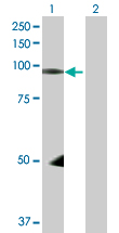 Western blot - HEF1 antibody (ab88584)