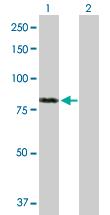 Western blot - FAF1 antibody (ab88592)