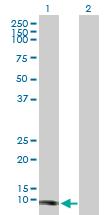 Western blot - Tcl1 antibody (ab88602)