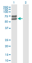 Western blot - LCTL antibody (ab88606)