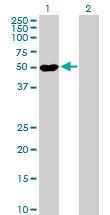 Western blot - PRAF1 antibody (ab88623)