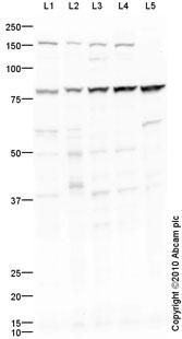 Western blot - Pan3 antibody (ab88642)