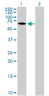 Western blot - TRIM25 antibody (ab88669)