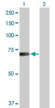 Western blot - RanGAP1 antibody (ab88682)