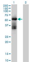 Western blot - RNF23 antibody (ab88707)