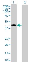 Western blot - UBL7 antibody (ab88708)