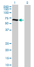 Western blot - RBM46 antibody (ab88733)
