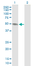 Western blot - PAH antibody (ab88740)