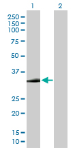 Western blot - Syntaxin 2 antibody (ab88744)