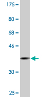 Western blot - SFRS9 antibody (ab88749)